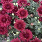 Close up of maroon Chrysanthemums
