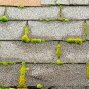 Moss on roof tiles.
