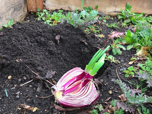 Replanting a Sprouting Onion - lying on top of soil