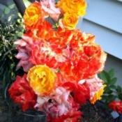 Piñata Rose Cluster - brillante red, yellow, and reddish orange blooms