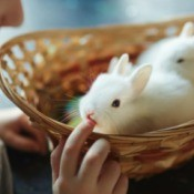 Bunnies in a basket with a young boy touching them.