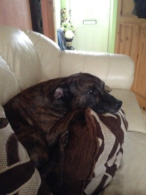 Dog Has Bumps Along Tail - brindle dog on white couch