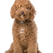 Designer Mutts - brown Labradoodle