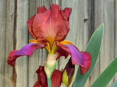 Russet Iris - beautiful russet and purple iris against a wooden fence