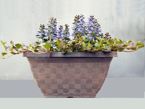 Ajuga Chocolate Kiss - planter with purple flowering ajuga