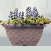 Ajuga Chocolate Kiss - planter with purple flowering ajuga
