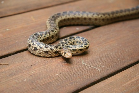 A snake on a wood deck.