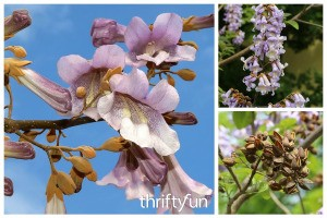 What is This Plant? Princess Tree (Paulownia tomentosa)