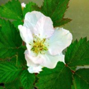 Arapaho Blossom - blackberry flower