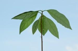 Small avocado plant