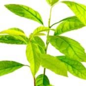 Avocado Plant leaves on white