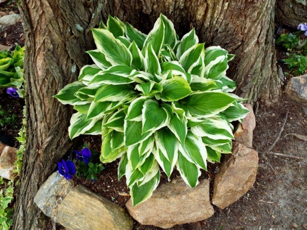 Hosta Is Said To Be A Shade Loving Plant However It Will Grow In Full Sun Sometimes Producing Large Plants I Ve Seen Long Rows Of Huge Placed