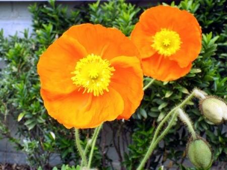 Spring Fever Orange Poppy - brilliant orange flower with yellow center