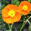 Spring Fever Orange Poppy - brilliant orange flower with yellow center