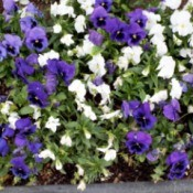 Ragged Pansy Bed - purple and white pansies