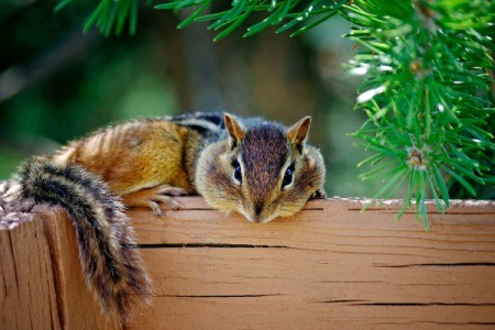 A chipmunk resting on a wood planter.