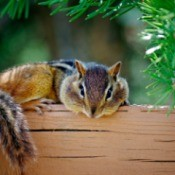 A chipmunk resting on a wood planter.