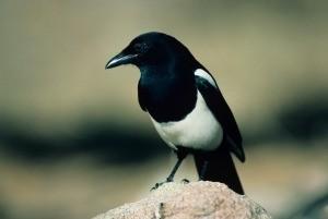 Black billed magpie