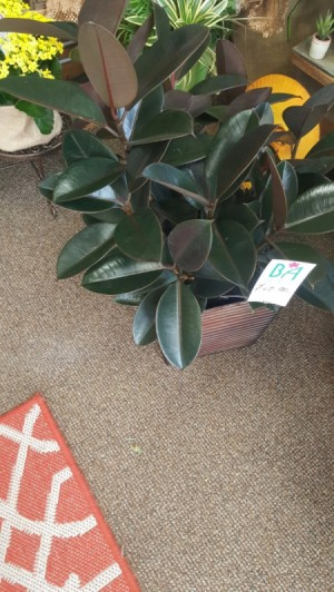 What Is This House Plant? - plant with ovoid dark green leaves