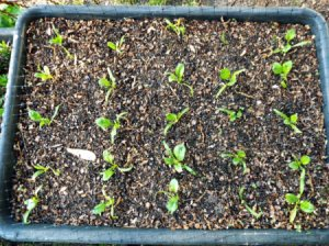 Spinach seedlings growing inside a concrete mixing tub.