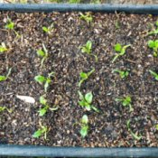 Spinach Grown In Containers - downward view of seedlings