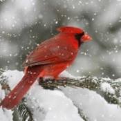 Northern Cardinal bird in a snow storm.
