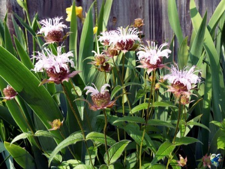 Eastern Bee Balm (Monarda Bradburiana) - plant with several light purple blooms