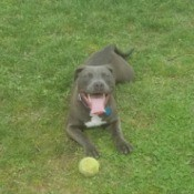 Is My Pit Bull Pure Bred?