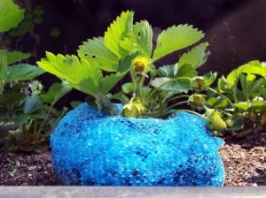 Homemade Strawberry Collars - collar around base of plant