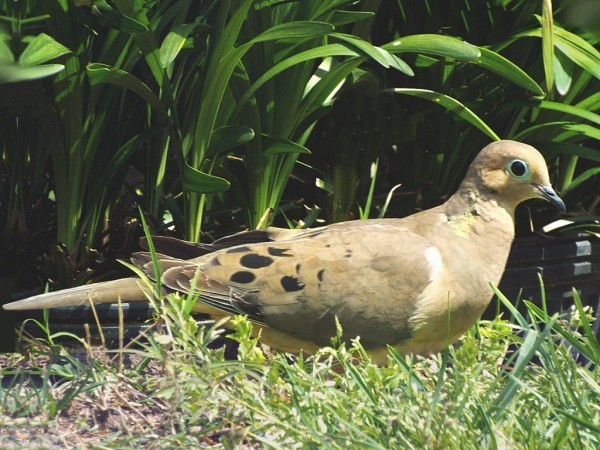 Mr. Mourning Dove Checks His Surroundings