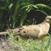 Mr. Mourning Dove Checks His Surroundings
