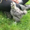 Silkie Bantam - 7 Weeks - chick next to girl's leg