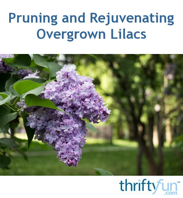 Pruning And Rejuvenating Overgrown Lilacs Thriftyfun