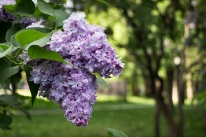 Lilac blossoms on an overgrown bush.