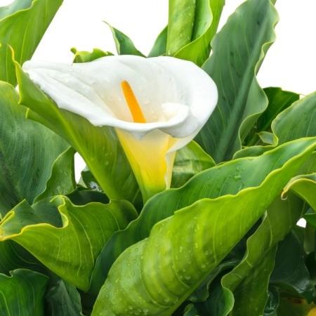 A white calla lily.