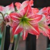 An amaryllis in bloom.