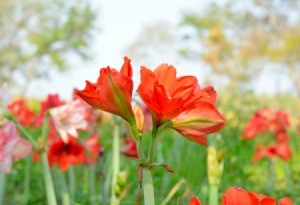 Amaryllis blooms in a garden outdoors.