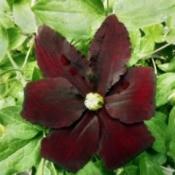 Clematis Niobe - dark red flower