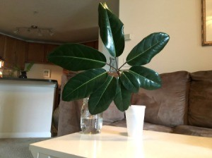 What Is This Houseplant? - plant cutting with 8 dark green leaves spiraling from main stem