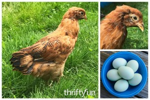 Easter Egger Photos and Information