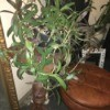 What Is This Houseplant? - vining plant with narrow medium green leaves, purple on underside