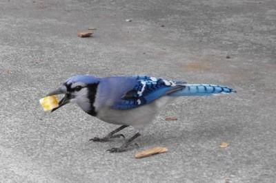 Wildlife: Blue Jay
