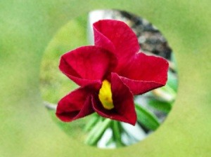 Calibrachoa (Million Bells) Hardiness - closeup of red flower