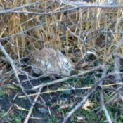 Brush Pile Bunny - brown bunny