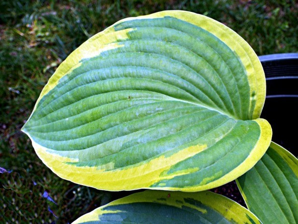 Variegated Hosta - green and yellow edged hosta leaf