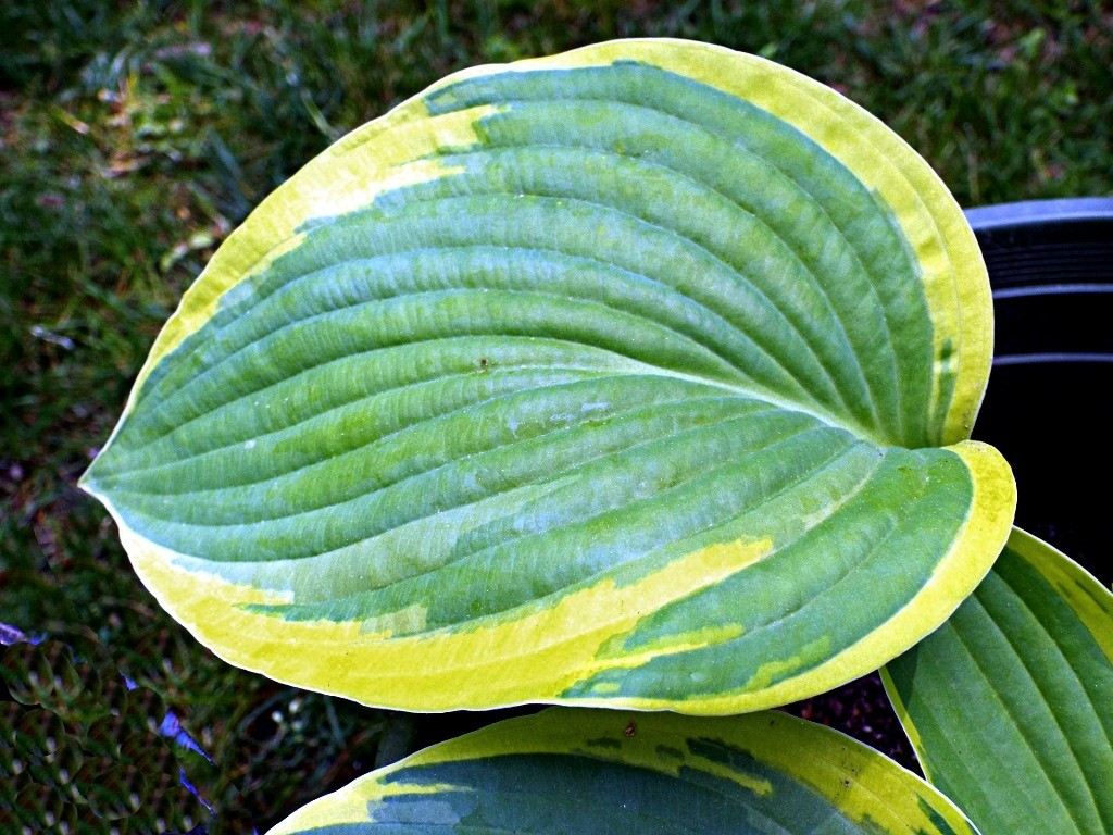 Growing Hostas Thriftyfun