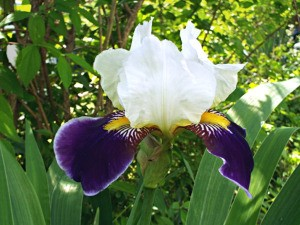 Label And Catalog Your Flowers = closeup of dark purple and white iris