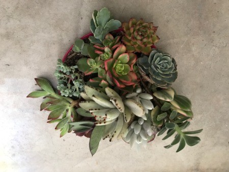 Succulent Plants Make Wonderful Gifts