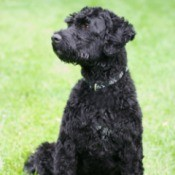 Breed Information: Portuguese Water Dog - dog in profile