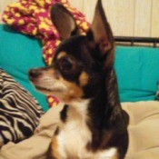 Andy (Chihuahua) - tri-color Chihuahua
